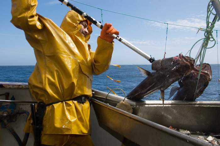 Toothfish fisherman hauls fish onboard - Falkland Islands toothfish fishery © Paul Sutherland